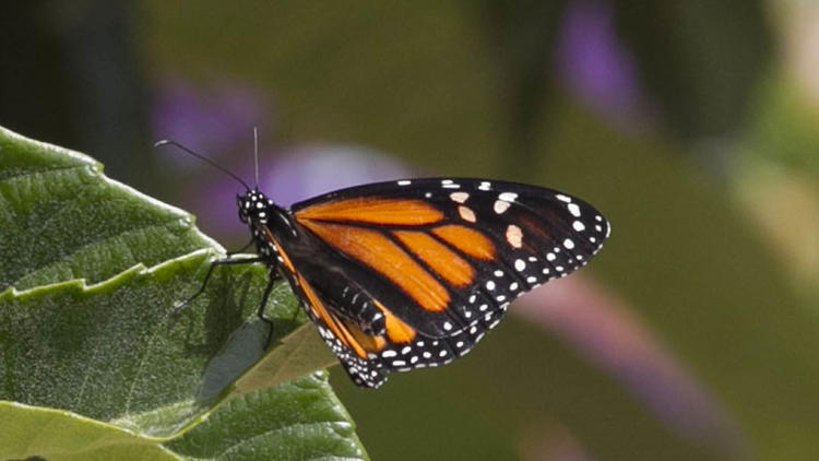 Butterflies Teach Youngsters Value Of Gardening The San
