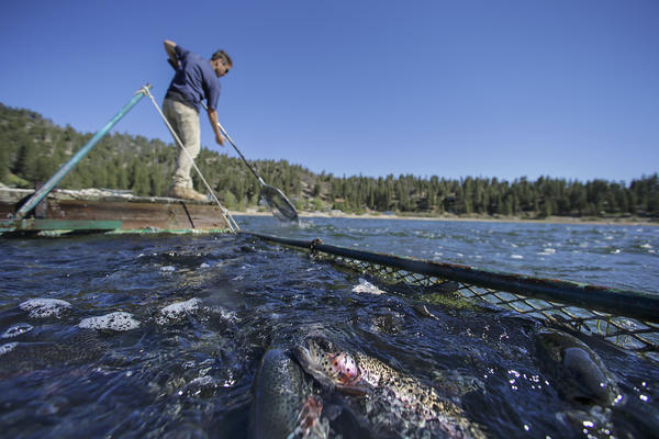 Big Bear Lake plans to grow its own rainbow trout in a new $3.5-million hatchery
