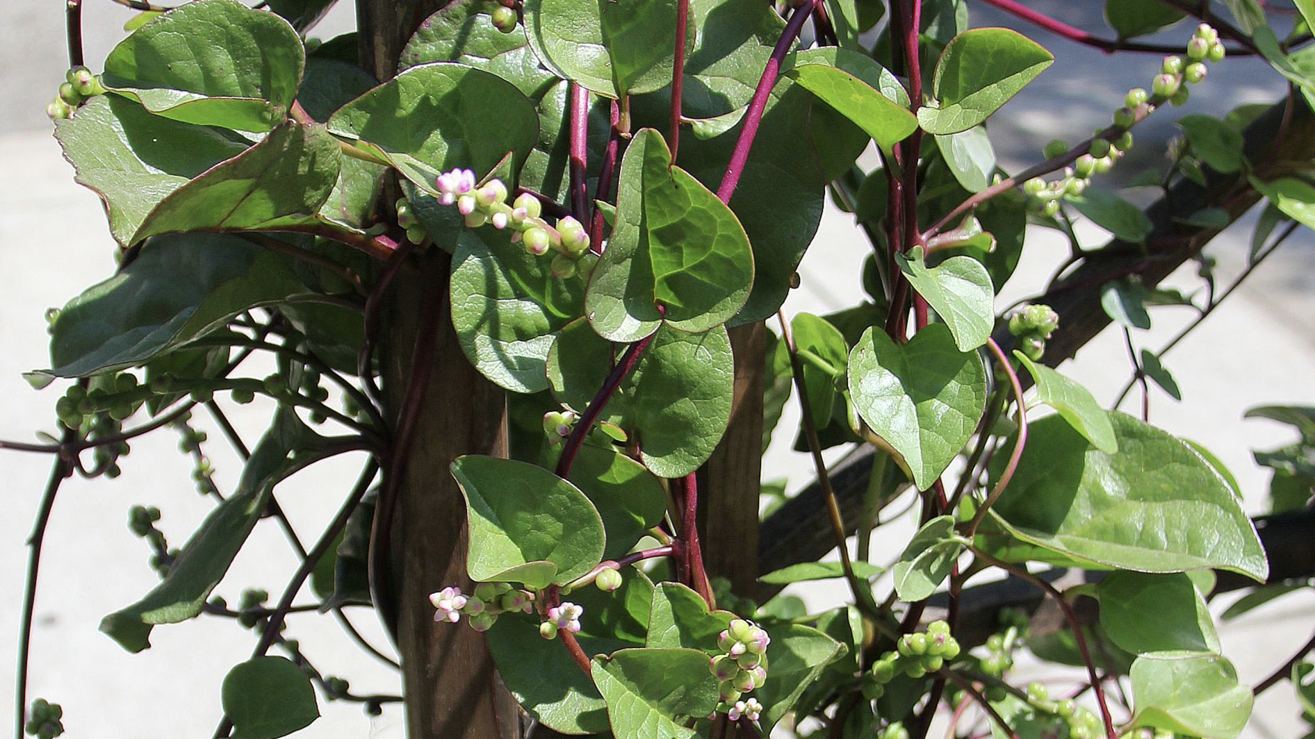 Malabar spinach is as delicious as it is showy. The white flowers turn dark purple and are a great natural dye.