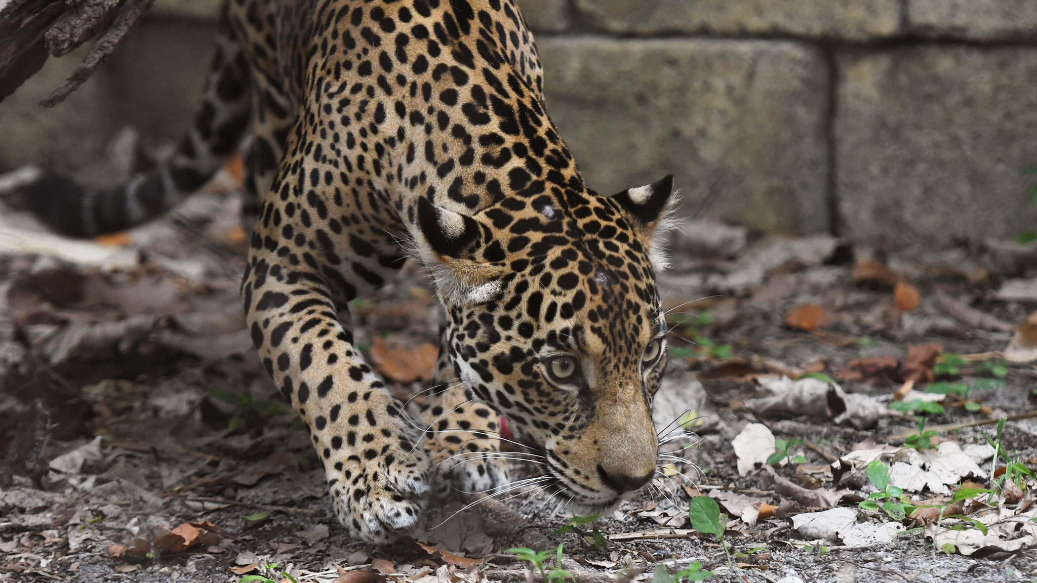 Jaguar, Almost Killed By Hunting Dogs As Cub, Makes Zoo Debut   Sun Sentinel