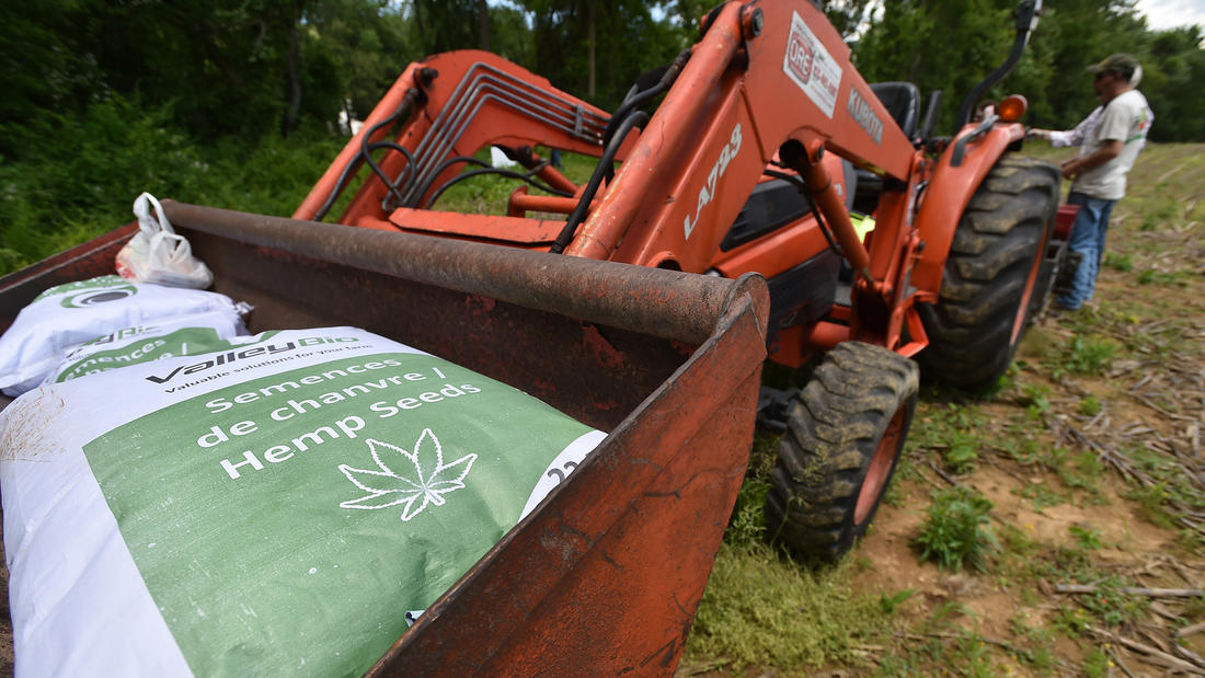 Hemp seeds are sown legally for first time in decades.
