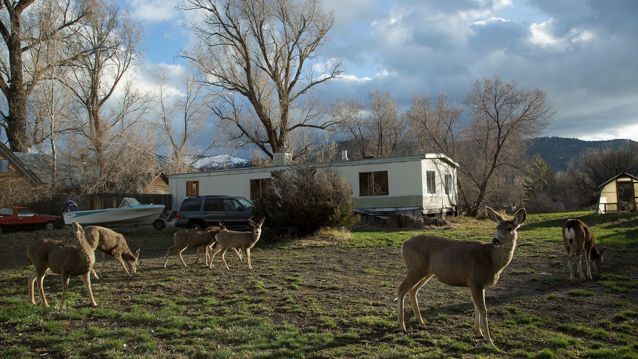 Deer graze on the front lawn of a house on Beckwith Road in Loyalton.