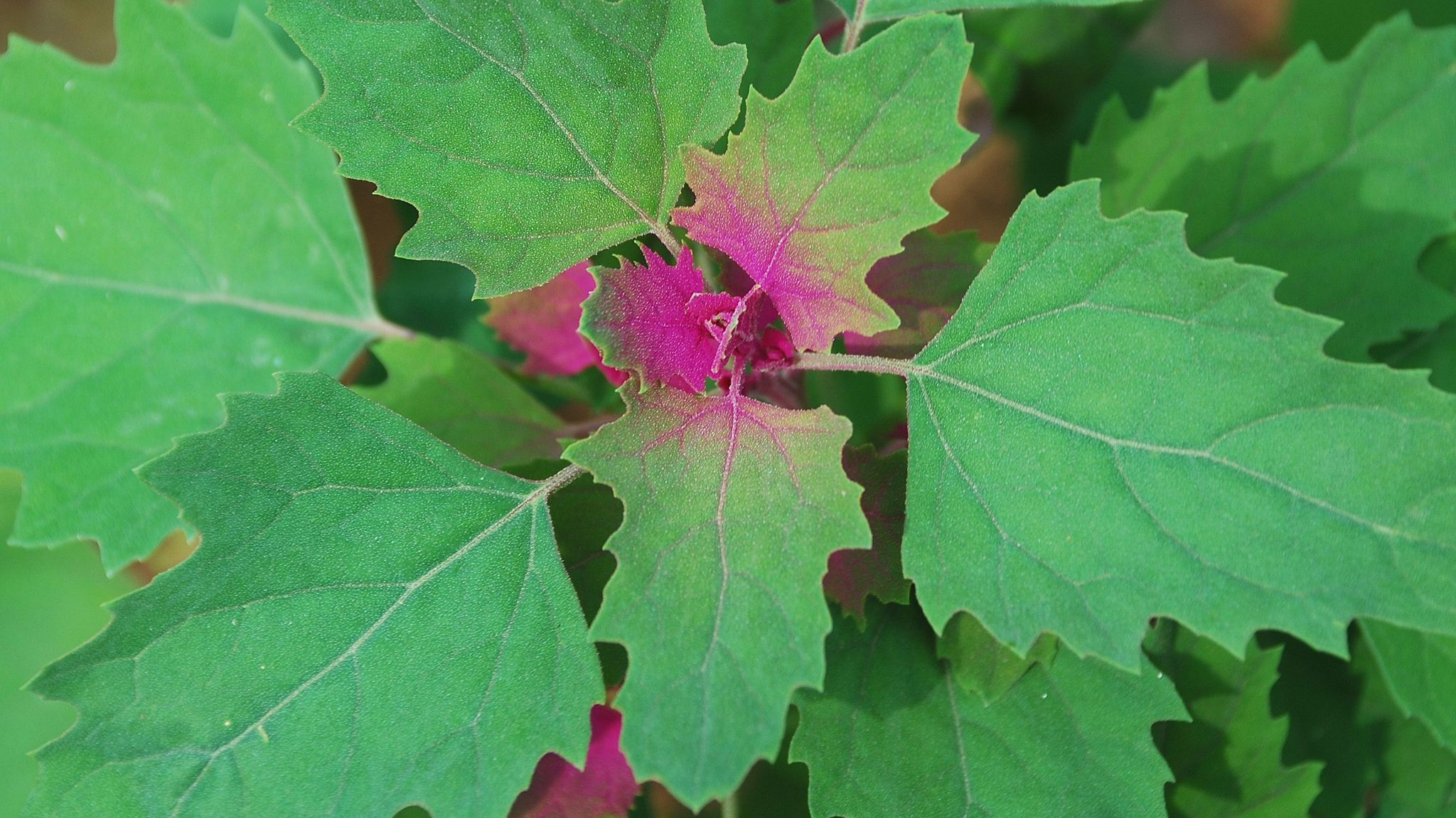 An annual leafy vegetable also known as Magenta Spreen.