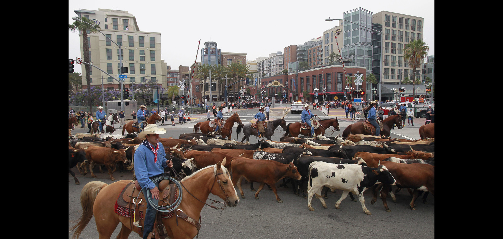 200 cows take over downtown san diego streets in historic cattle
