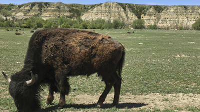 Dakotas buffalo trail tour traces story of American bison