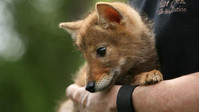 Reward offer for the arrest of the killer of six coyote pups