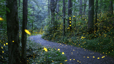 For 2 spectacular weeks, mating fireflies light up Smoky Mountains