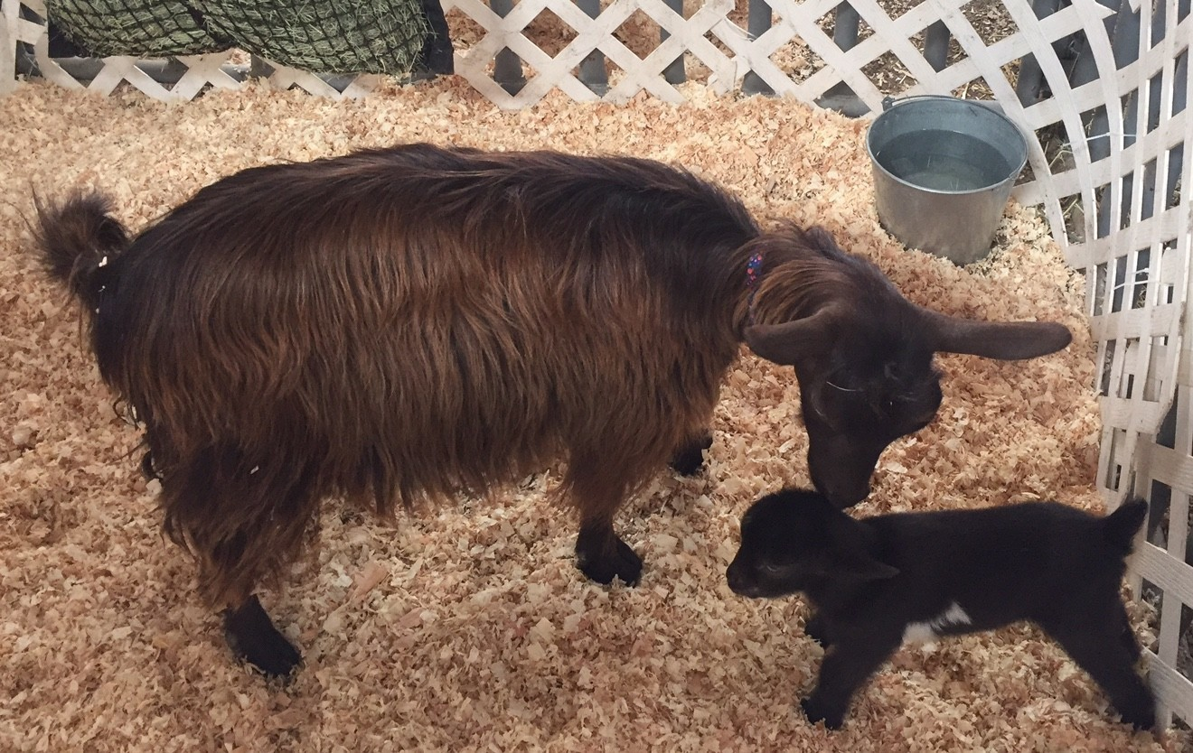 Birth of baby fainting goat adds excitement to fair's ...
