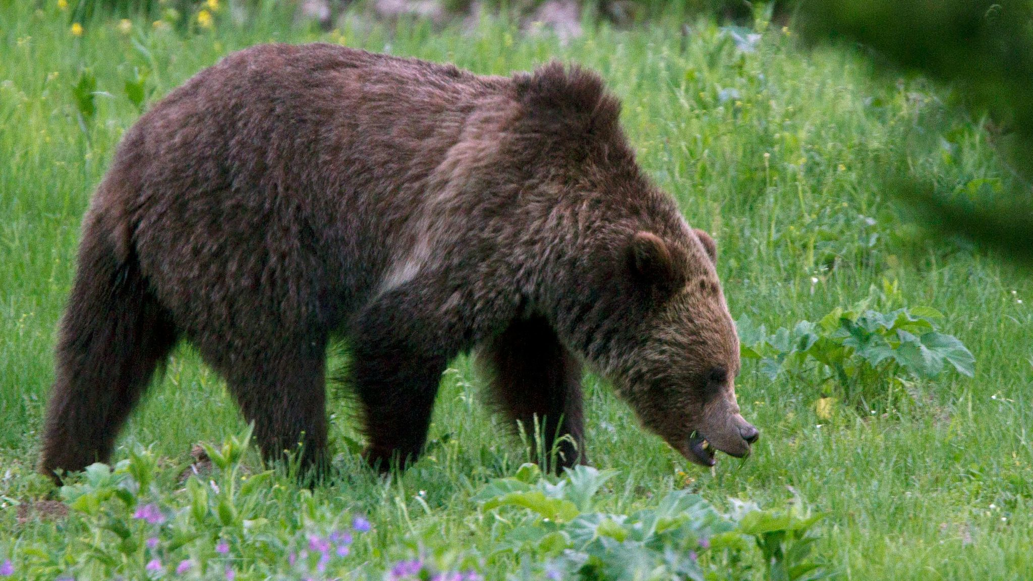 Conservationists, Indian tribes denounce U.S. plan to remove Yellowstone grizzly bears from endangered species list