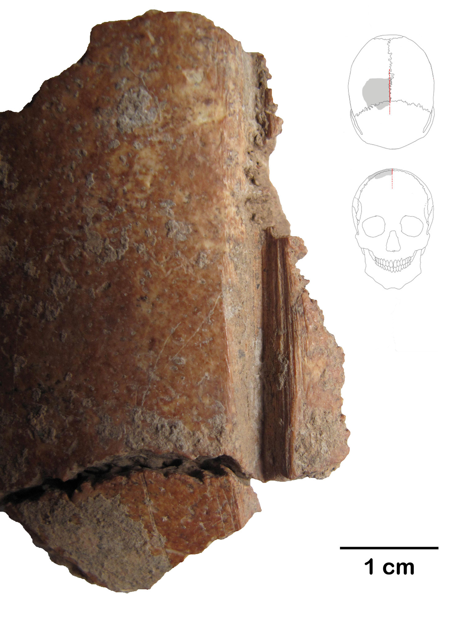 Skull fragments with cut marks.