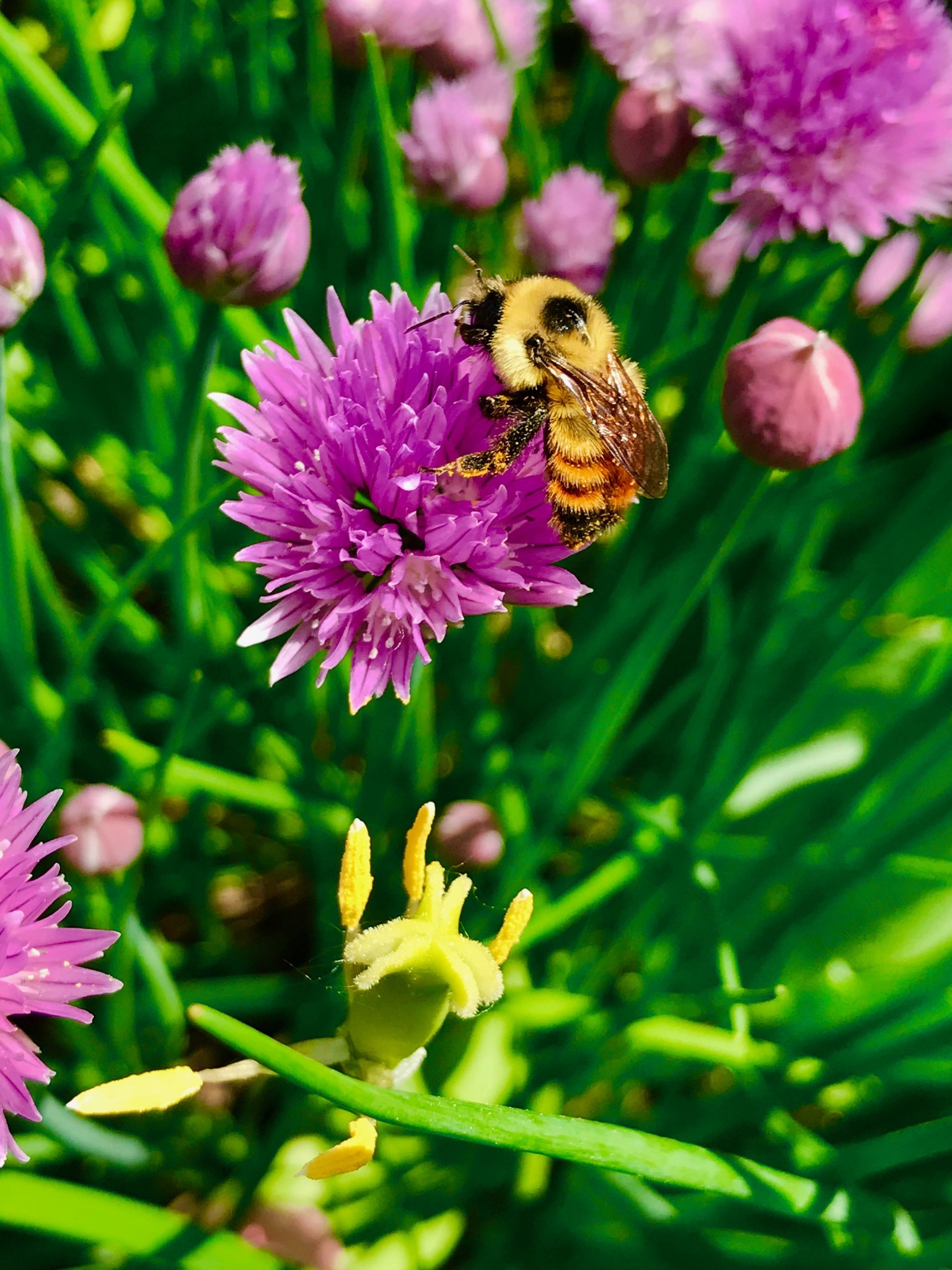 A red-belted bumblebee covered in pollen visits a chive flower in Canada.