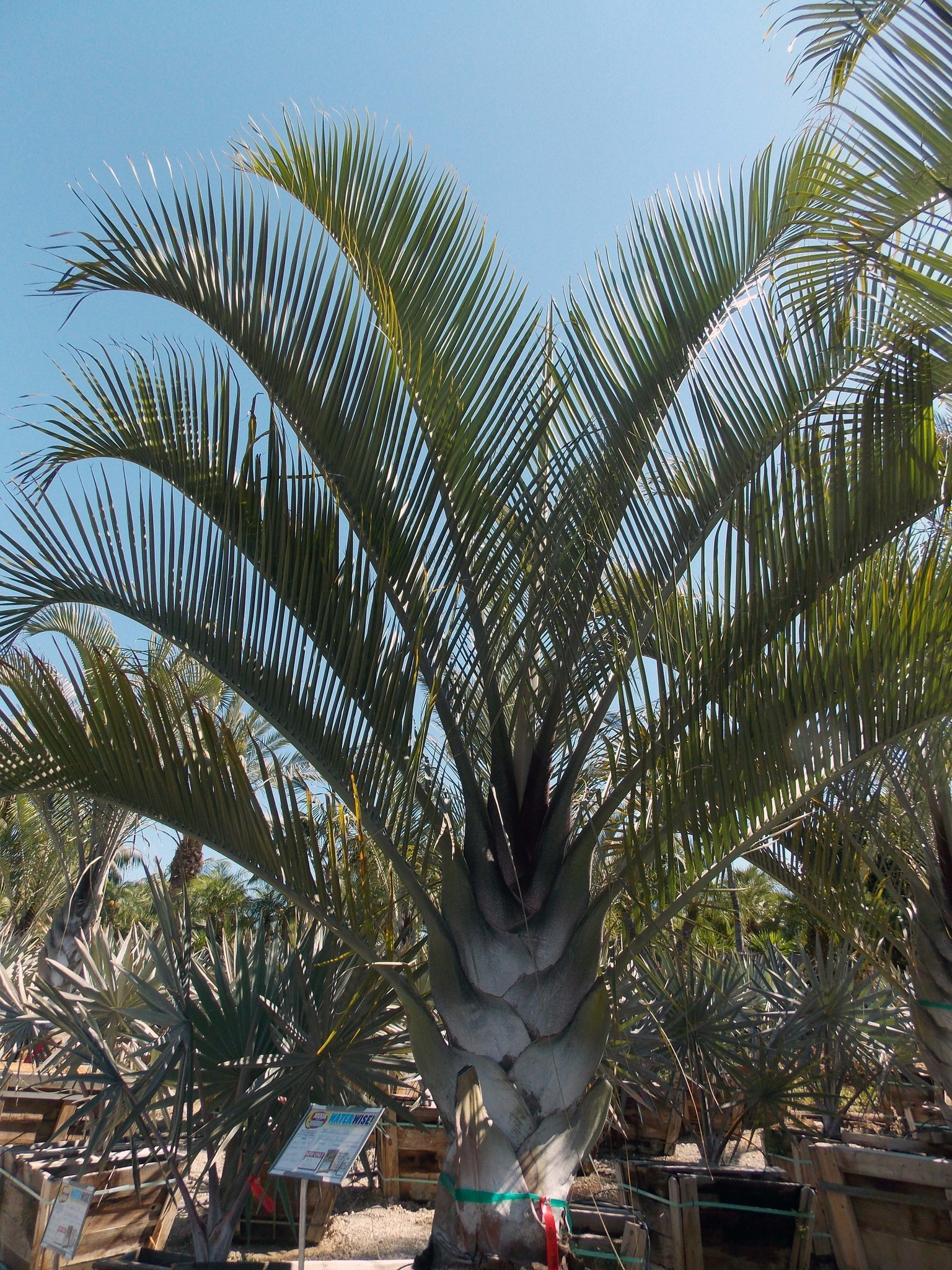 The palm fronds of a Triangle Palm arch gracefully from the trunk.