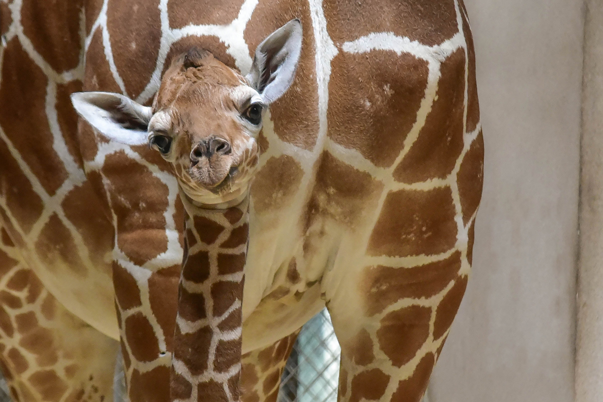 Baby giraffe at Maryland Zoo still struggling to gain ...