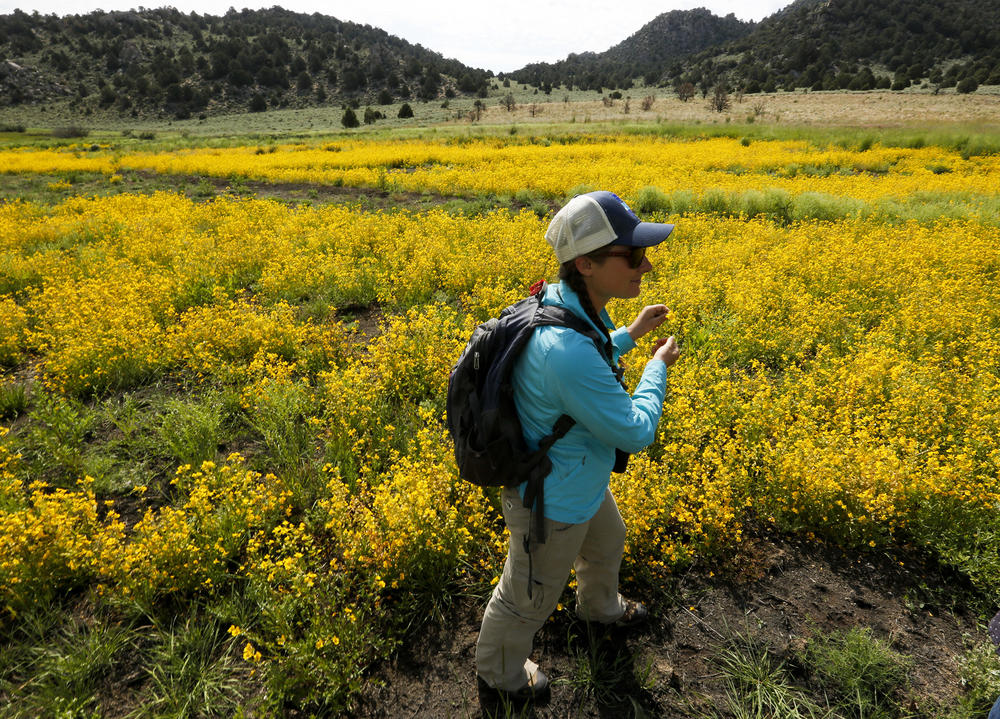 Nora Livingston, lead naturalist guide for the Mono Lake Committee, walks through a field of seep monkey flowers blooming in the Horse Meadows area in the Mono basin near Lee Vining.