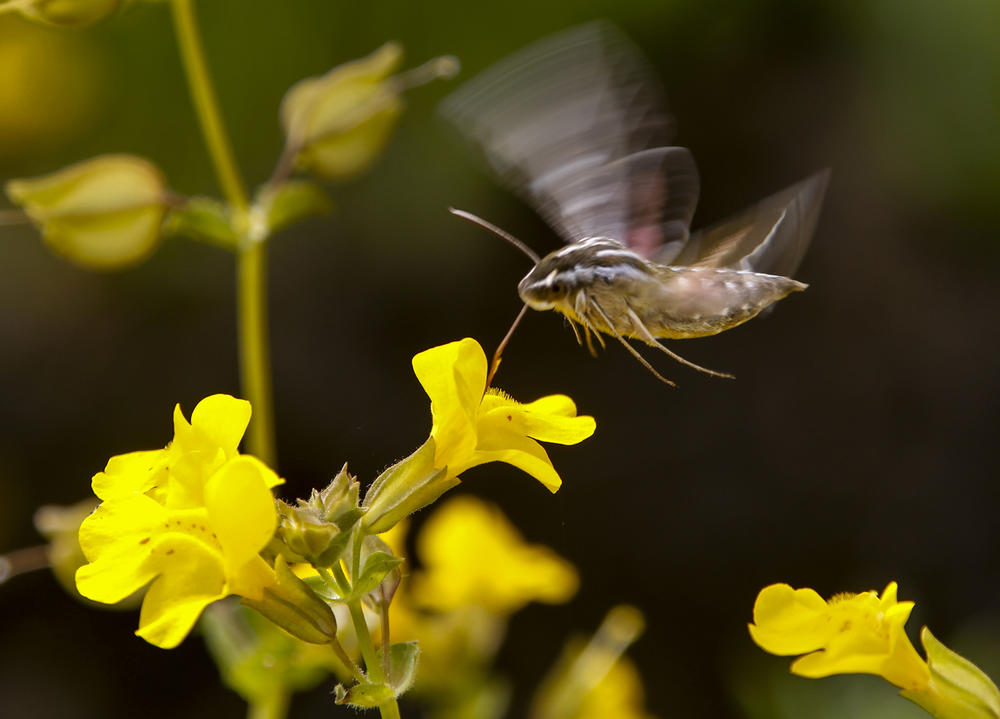 A white-lined Sphinx moth pollinates a field of seep monkey flowers.
