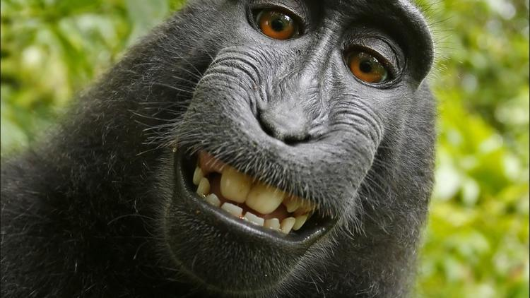 Federal appeals court appears doubtful monkey can sue