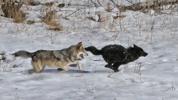 Two wolves in the Druid Peak Pack engage in play chasing in Yellowstone National Park.