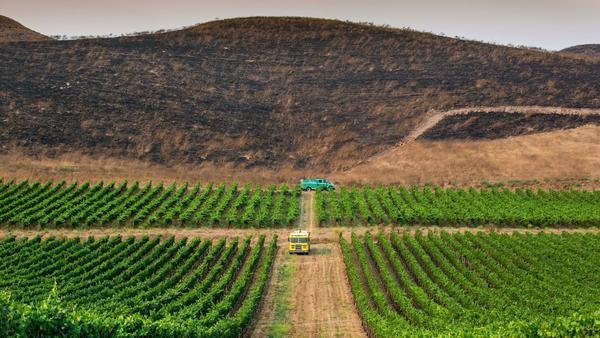 How an important Central Coast vineyard fought off the Alamo fire