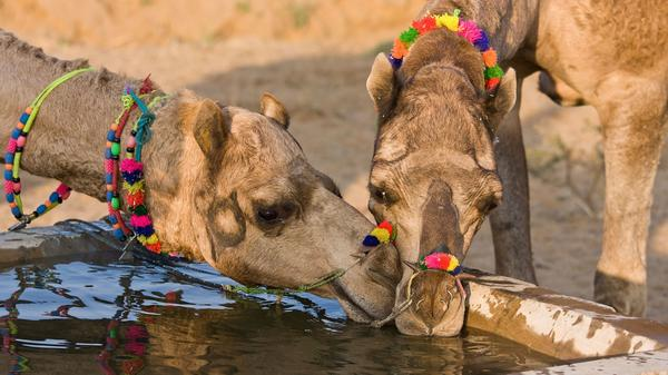 Ever see a camel kiss? Now you can on a tour to India