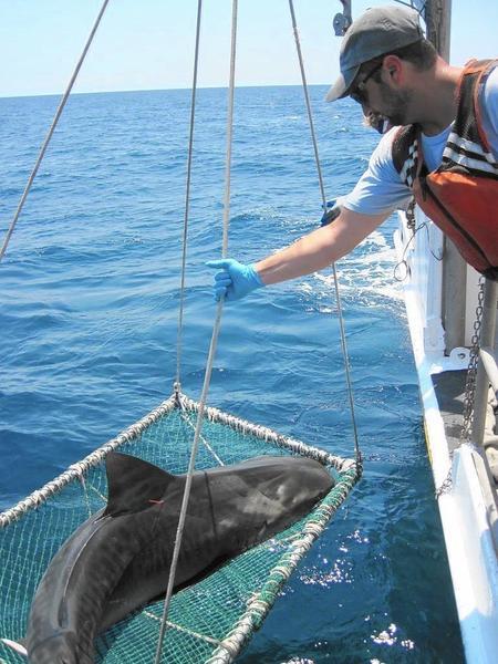 VIMS scientists harbor 'Shark Week' spirit year-round