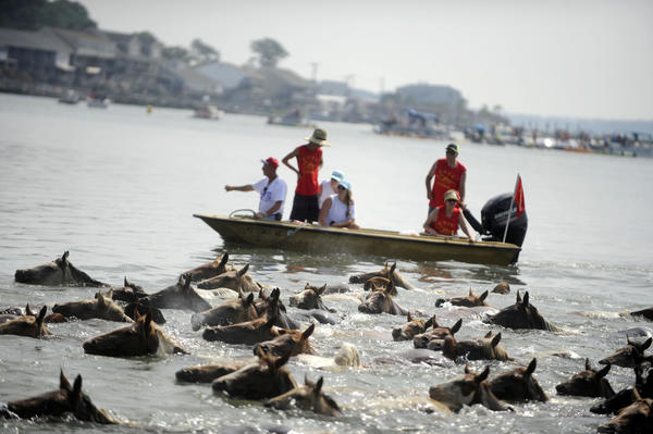 Ponies cross from Assateague to Chincoteague in annual swim