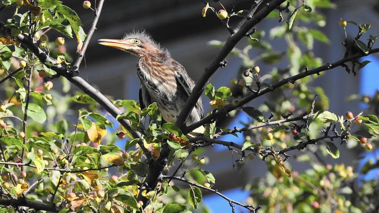 Green heron chick in Chicago