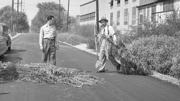 From the Archives: $20,000 worth of marijuana harvested, burned in 1948