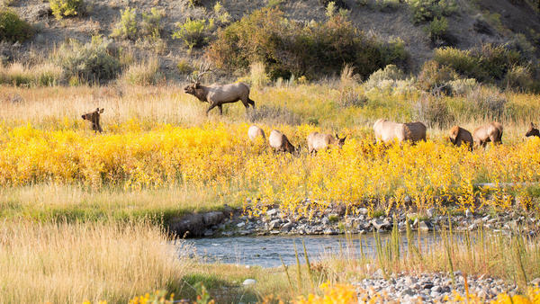Get an insider's look at wolves and elk on a fall tour in Yellowstone