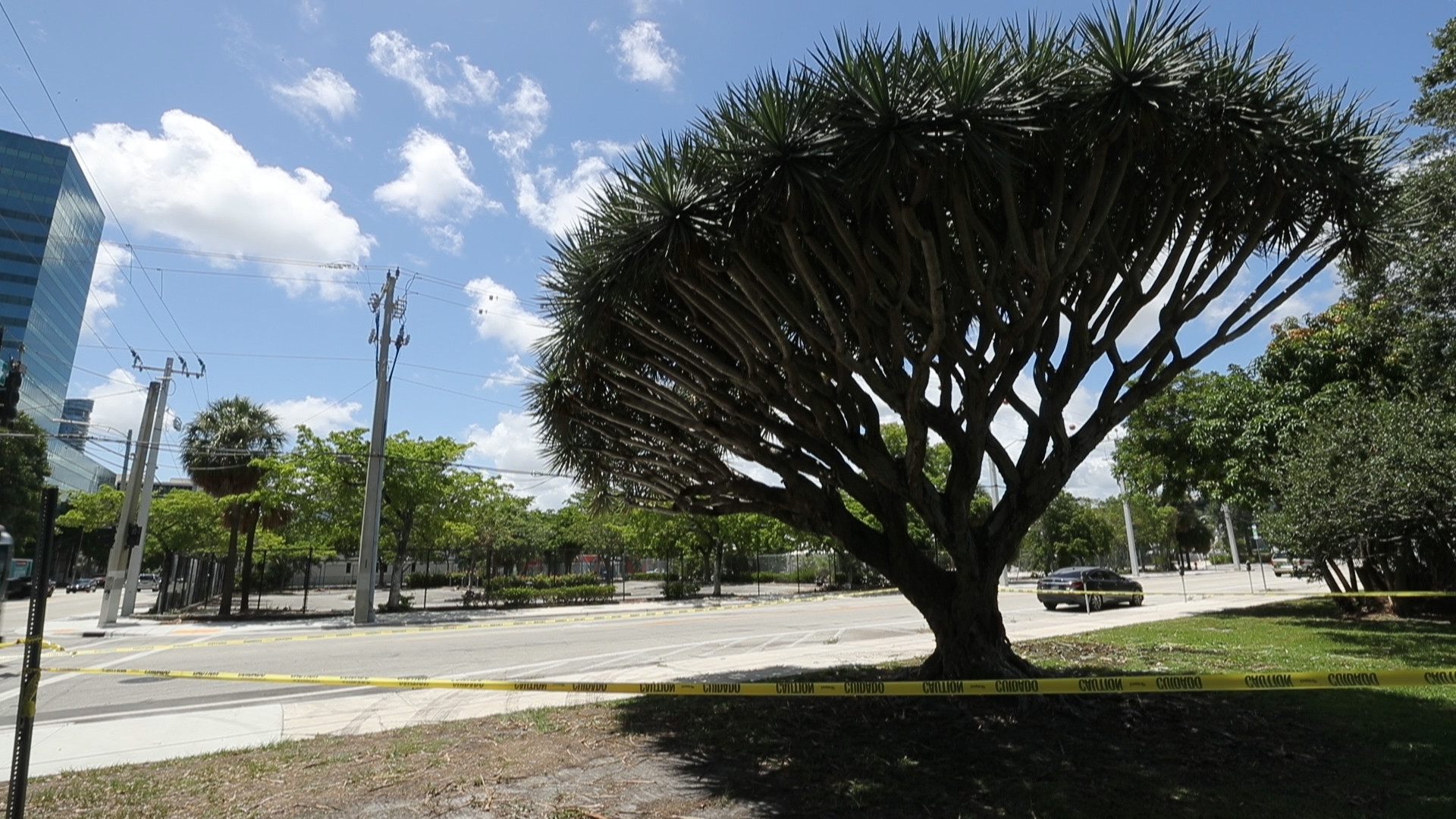 Rare Dragon Blood tree must come down, Fort Lauderdale told