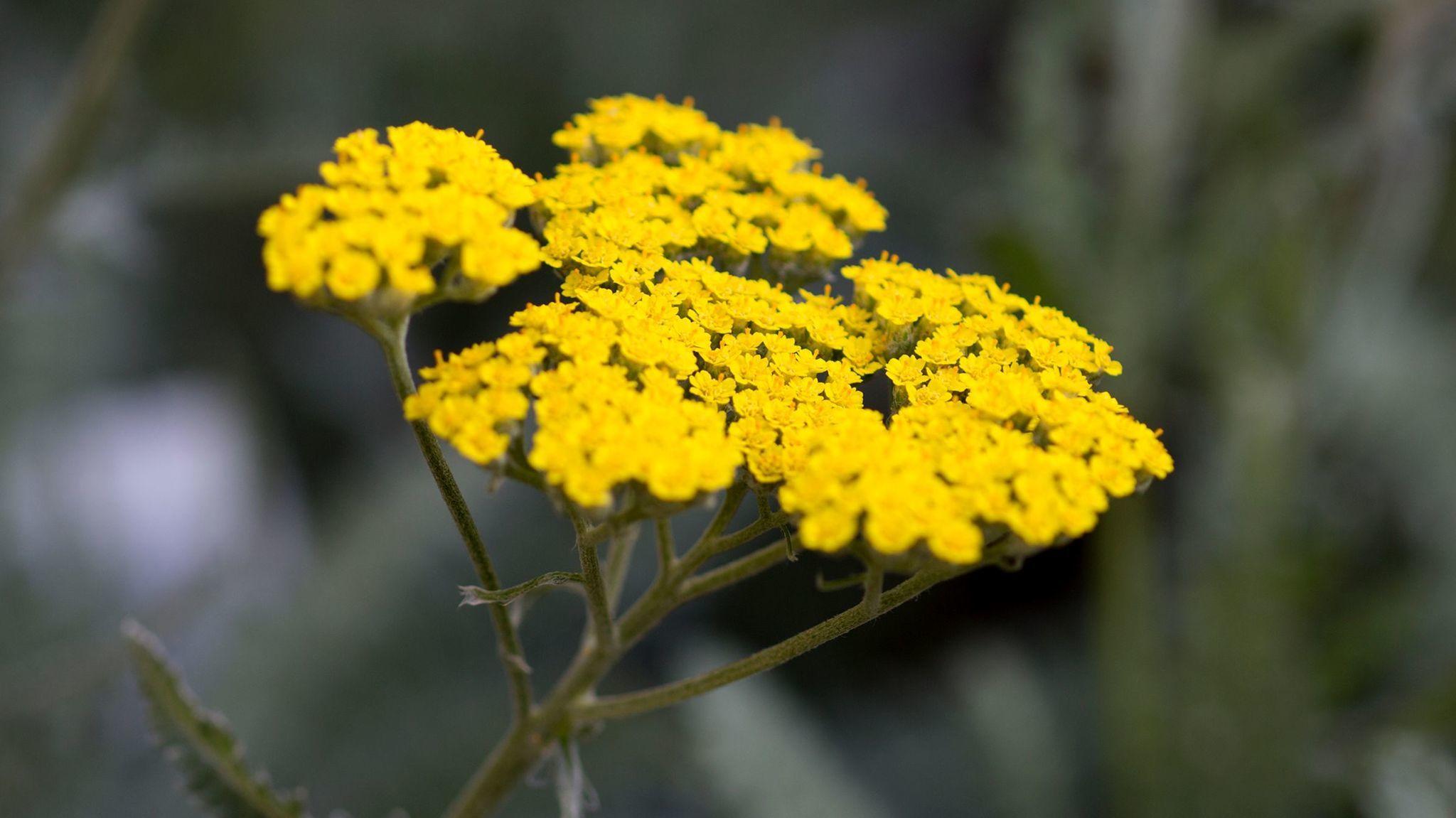 Among the drought-tolerant plants: yarrow