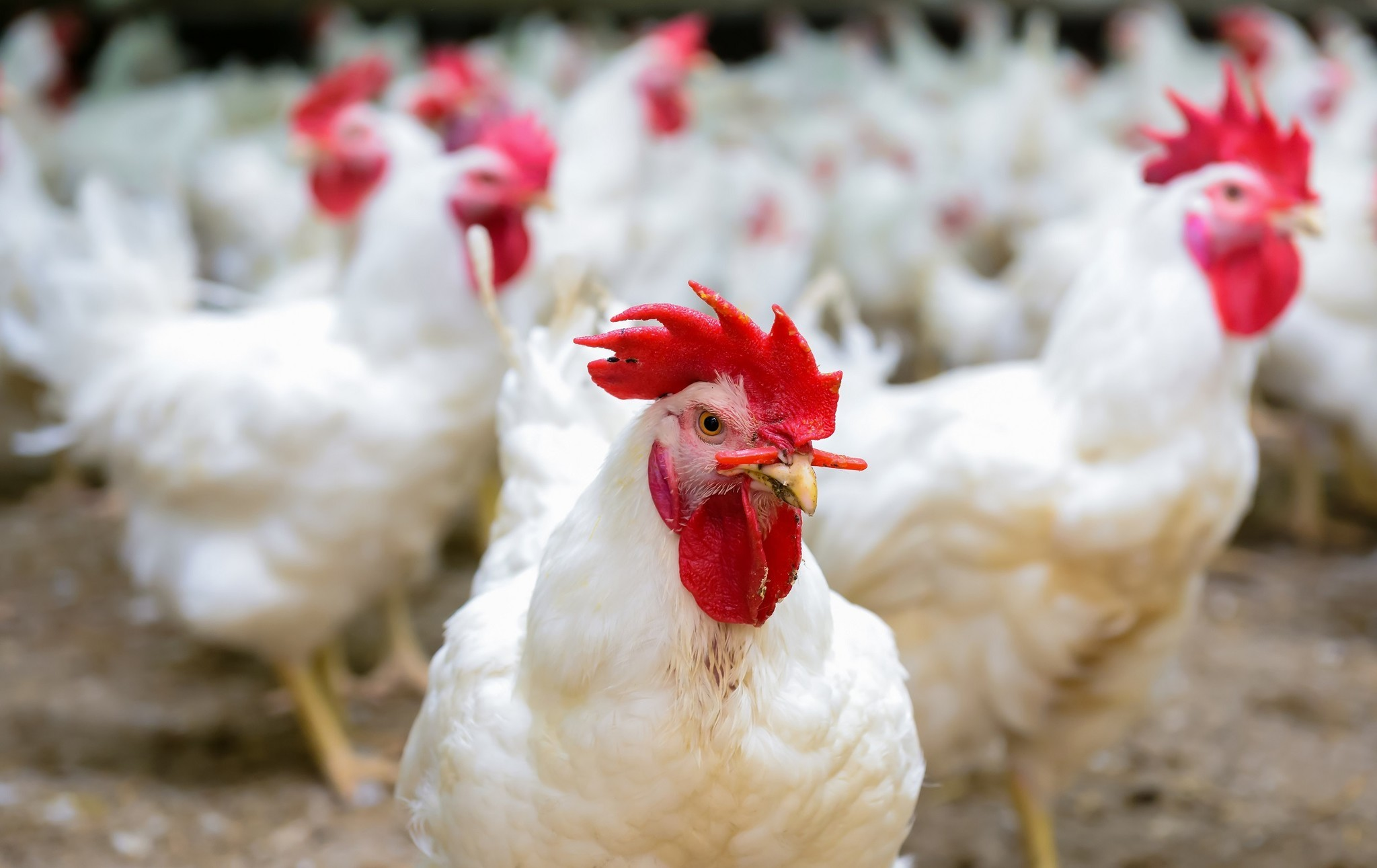 people are getting salmonella from touching live chickens la times