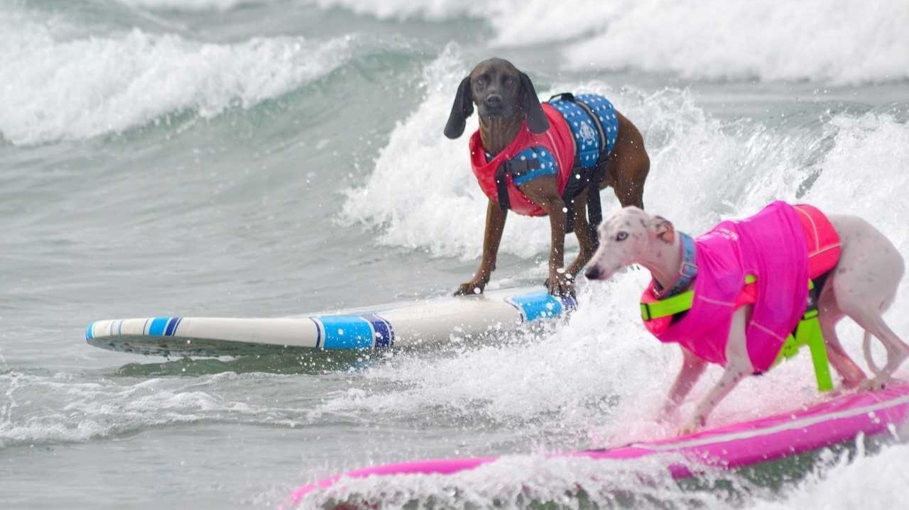 top surf dog to be crowned in del mar