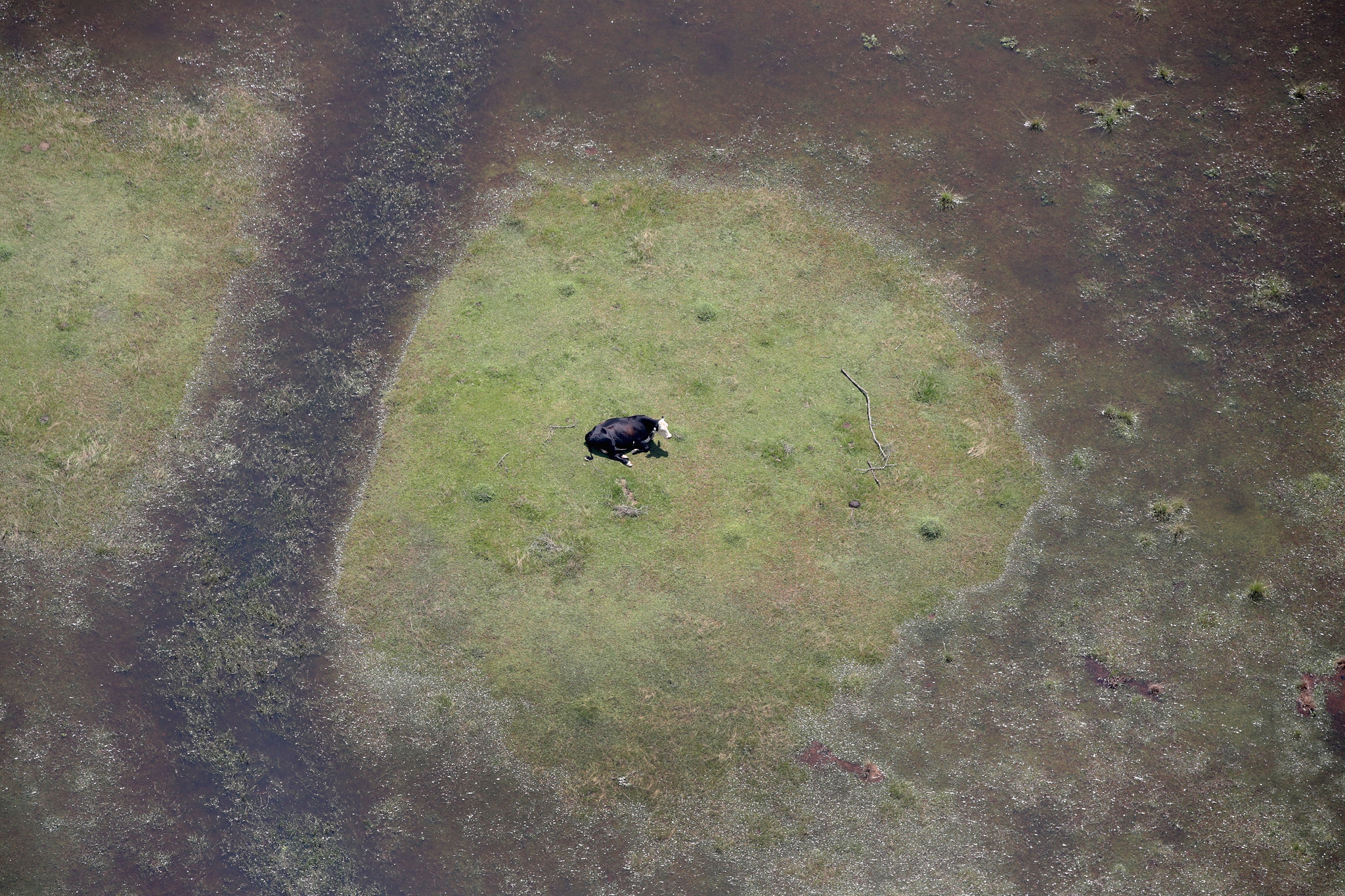 A cow sits in a pasture surrounded by floodwater left in the wake of Tropical Storm Harvey near Orange, Texas.