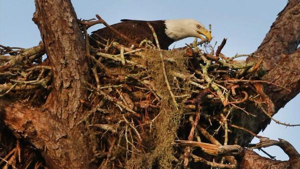 Try This New Fws Ming Tool To Find A Bald Eagle Nest You Type In An Addres Search Then The Hybrid Or Satellite View On See