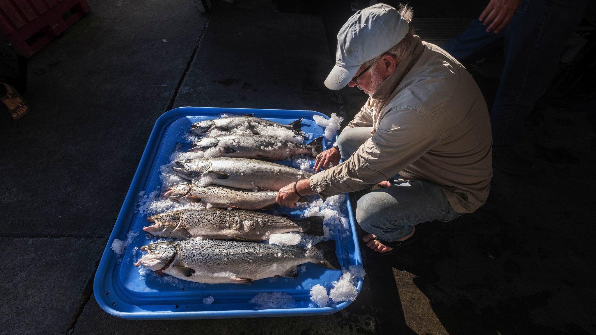 More than 160,000 non-native Atlantic salmon escaped into Washington waters in fish farm accident