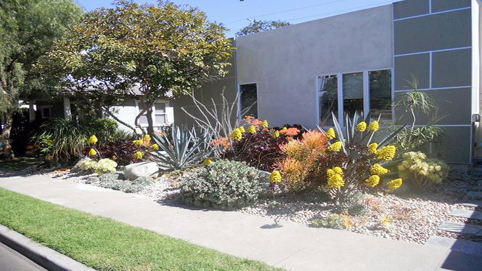 Aloes, succulents, ocotillo and more now bloom in the front yard.