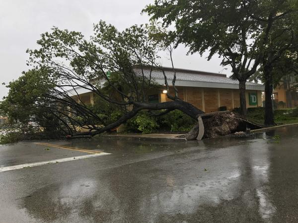 A tree is uprooted near Miami International Airport (Les Neuhaus / For The Times)