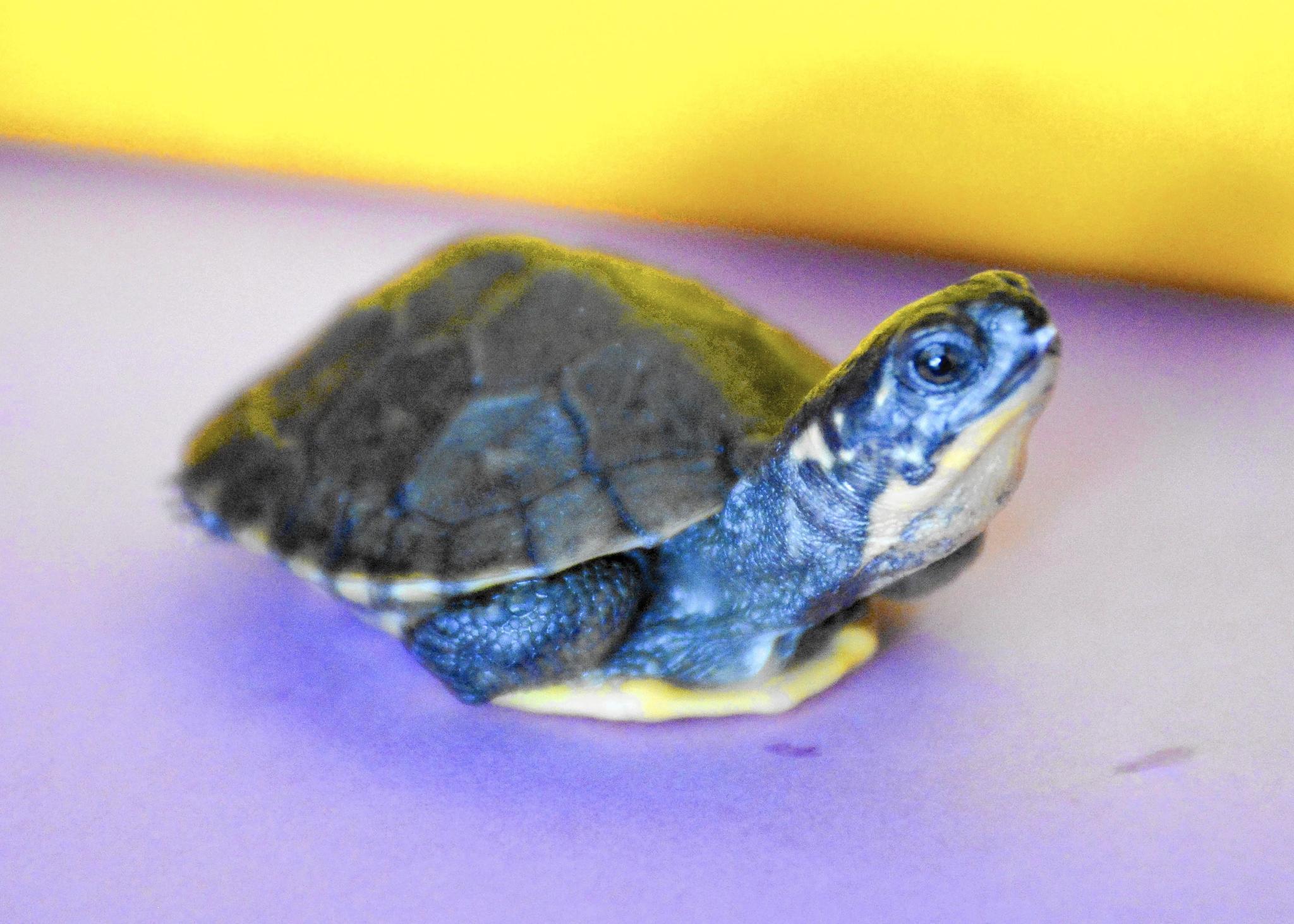 shell game adoption program aims to protect kane county turtles