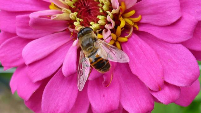 Garden Qu0026A: Hover Flies