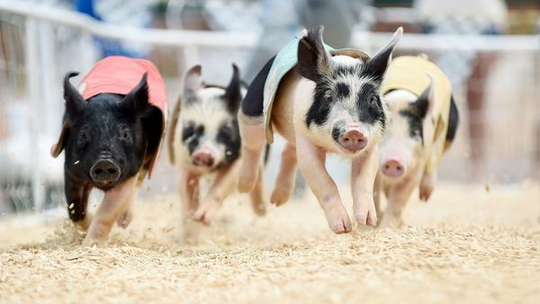 Officials: Pigs exhibited at county fair in Maryland have swine flu