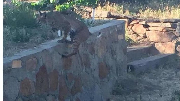 A bobcat leaps over a retaining wall in the Mt. Woodson area.