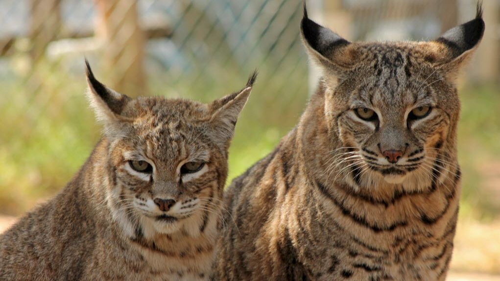 Two bobcats receive rehabilitation at The Funds for Animals Wildlife Center in Ramona.