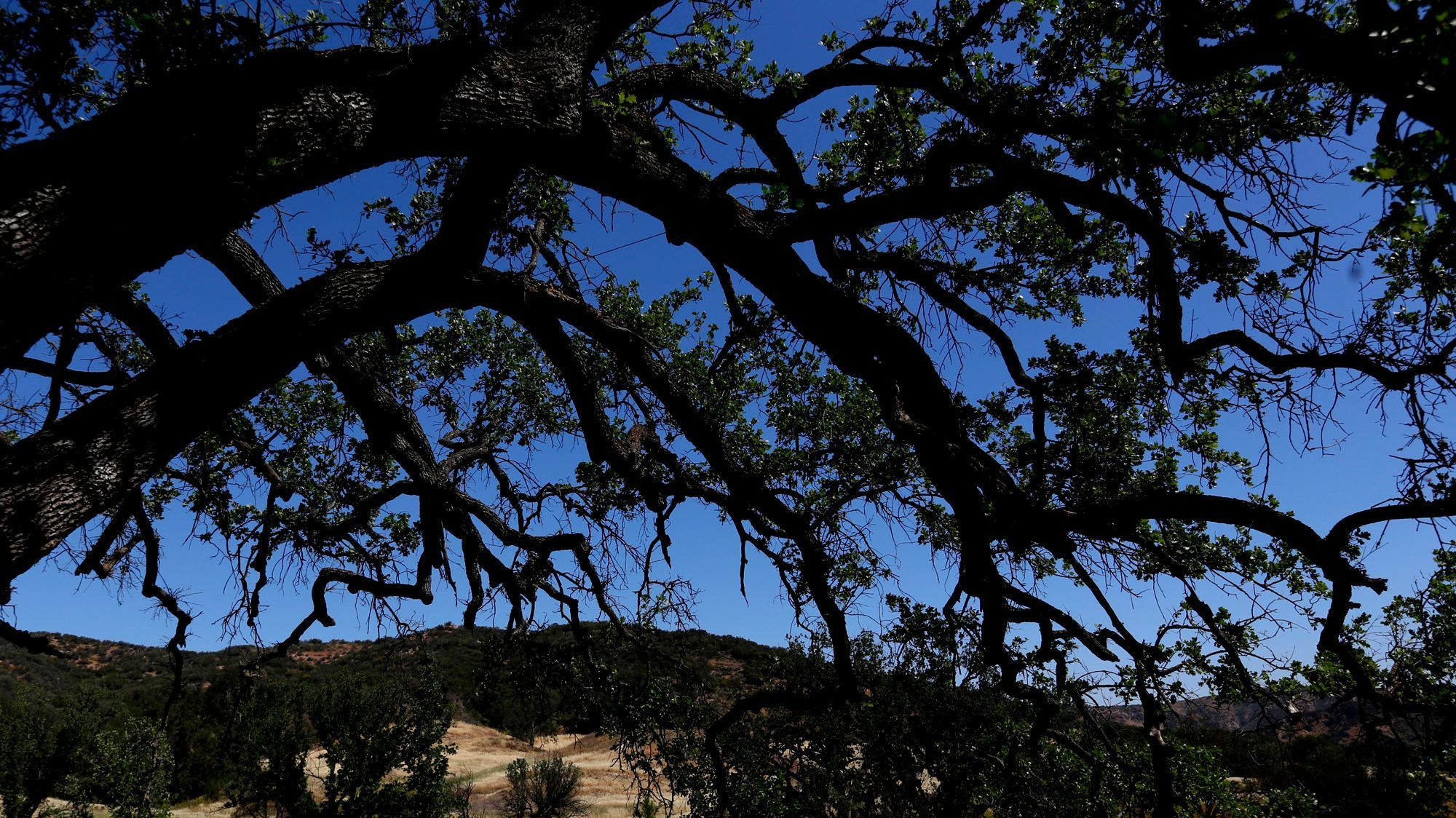 An oak tree in the Witches Wood, in the foreground, at Paramount Ranch.
