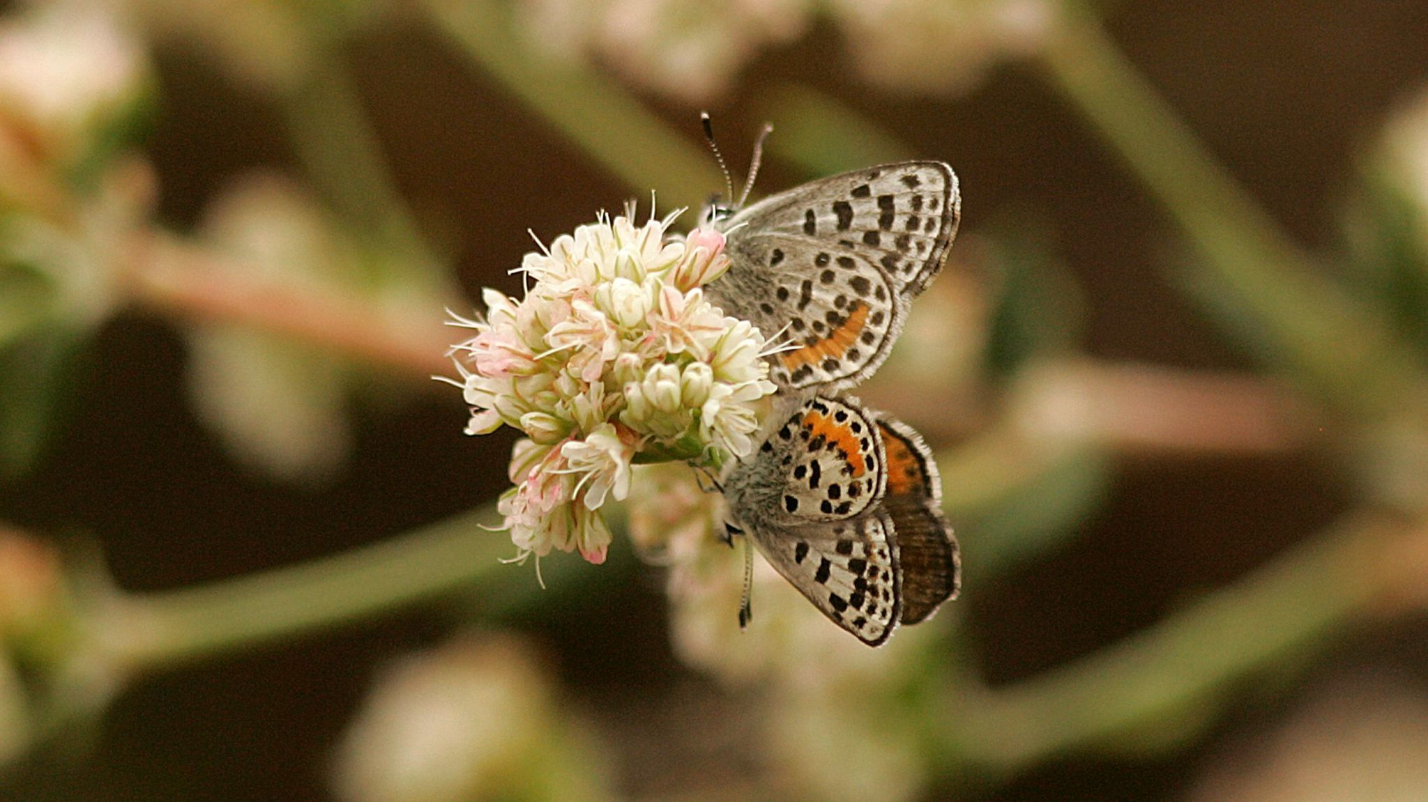 A pair of El Segundo blue butterflies mate on a flowering seacliff buckwheat plant at Miramar Park in Torrance.
