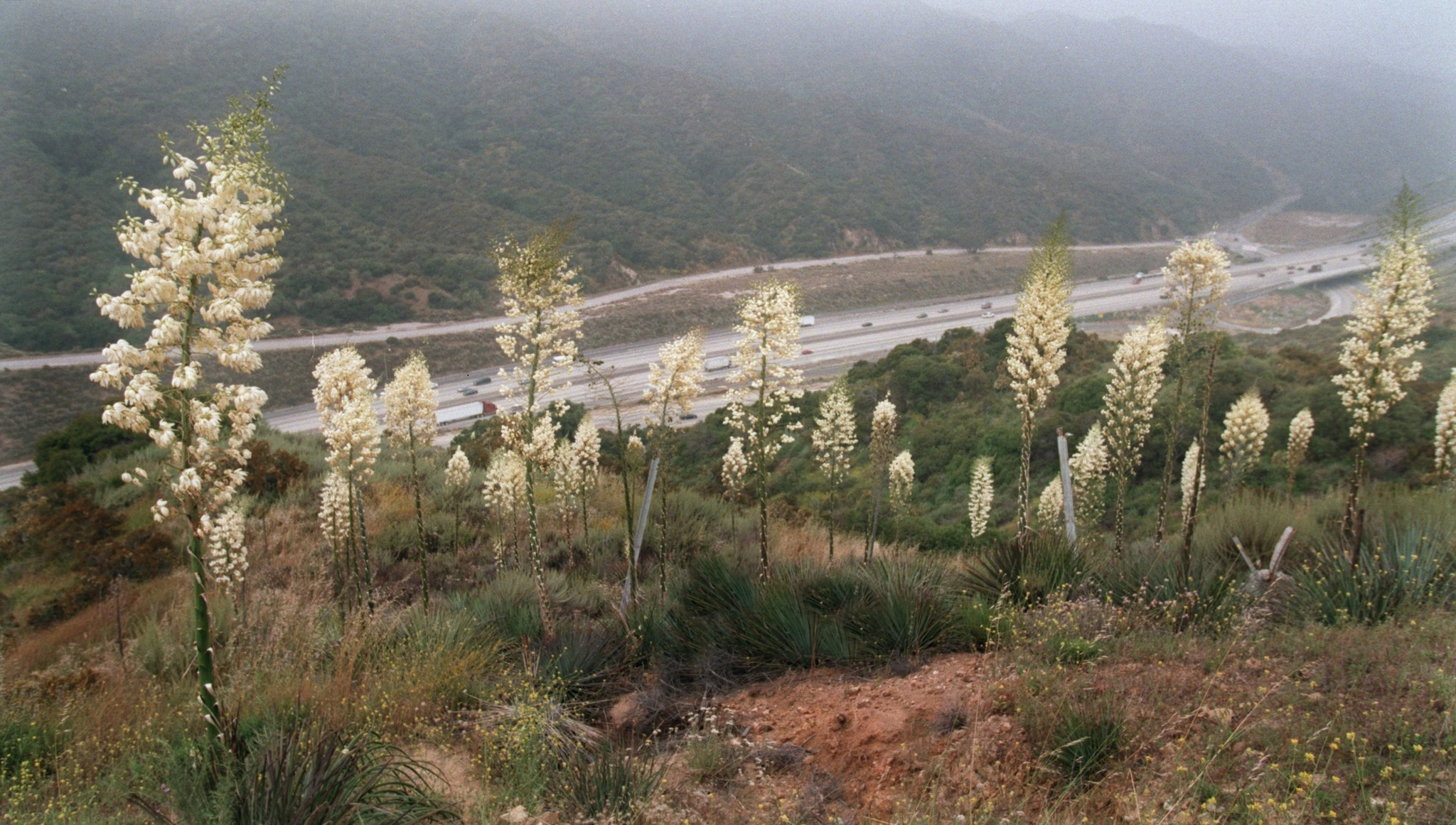 """Our Lord's Candle"" yucca bloom above the 210 freeway in Tujunga in 1998."