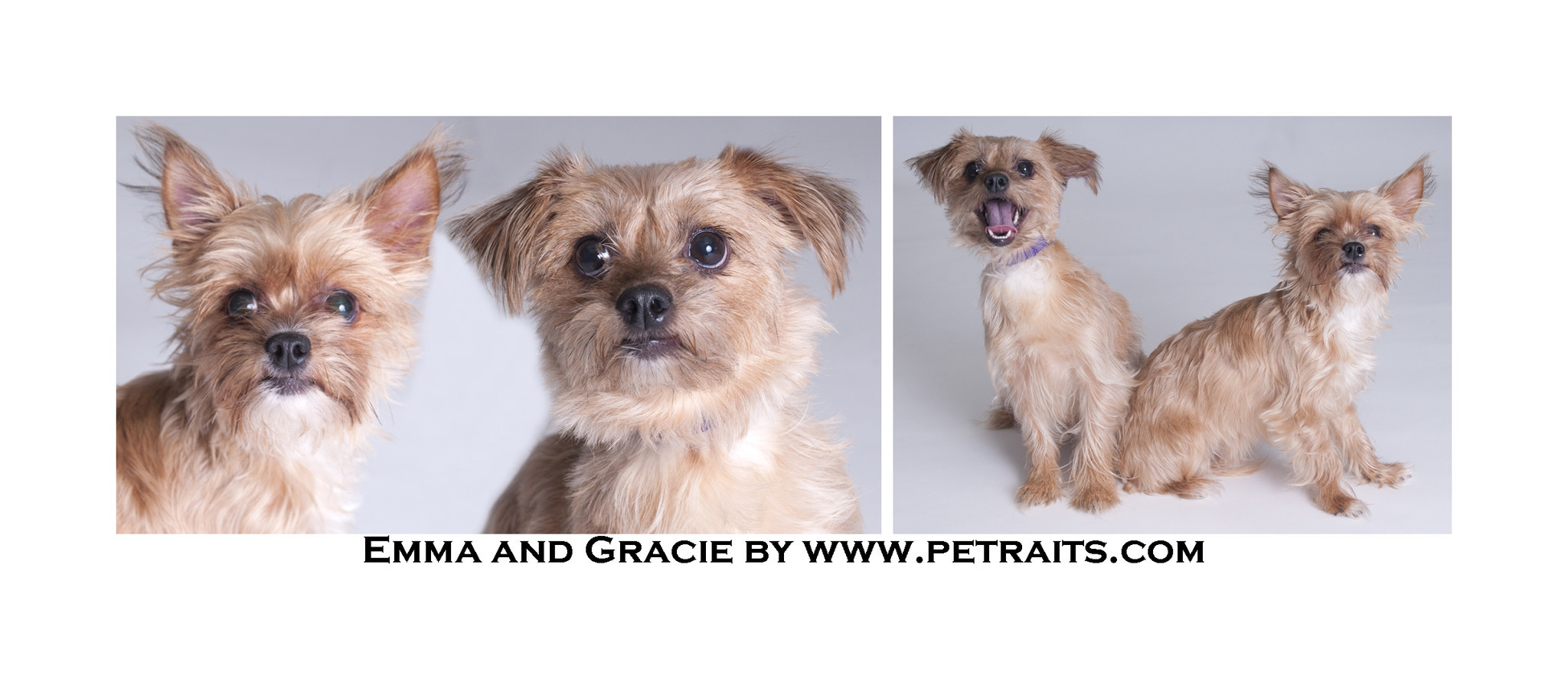 Imágenes De Yorkie Dogs For Sale Chicago Il