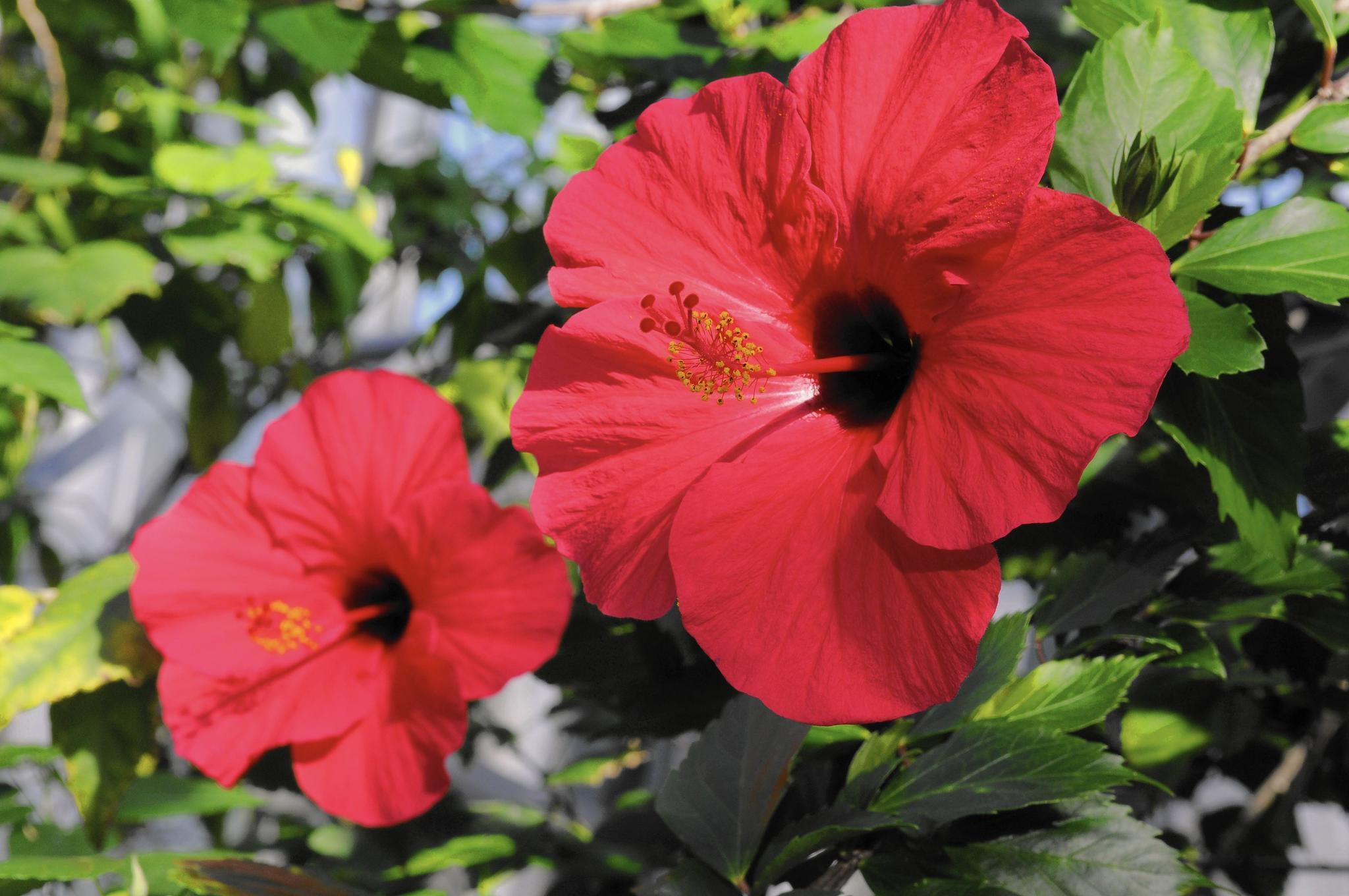 Poorly Flowering Hibiscus Problem Is Probably Fertilizer Chicago