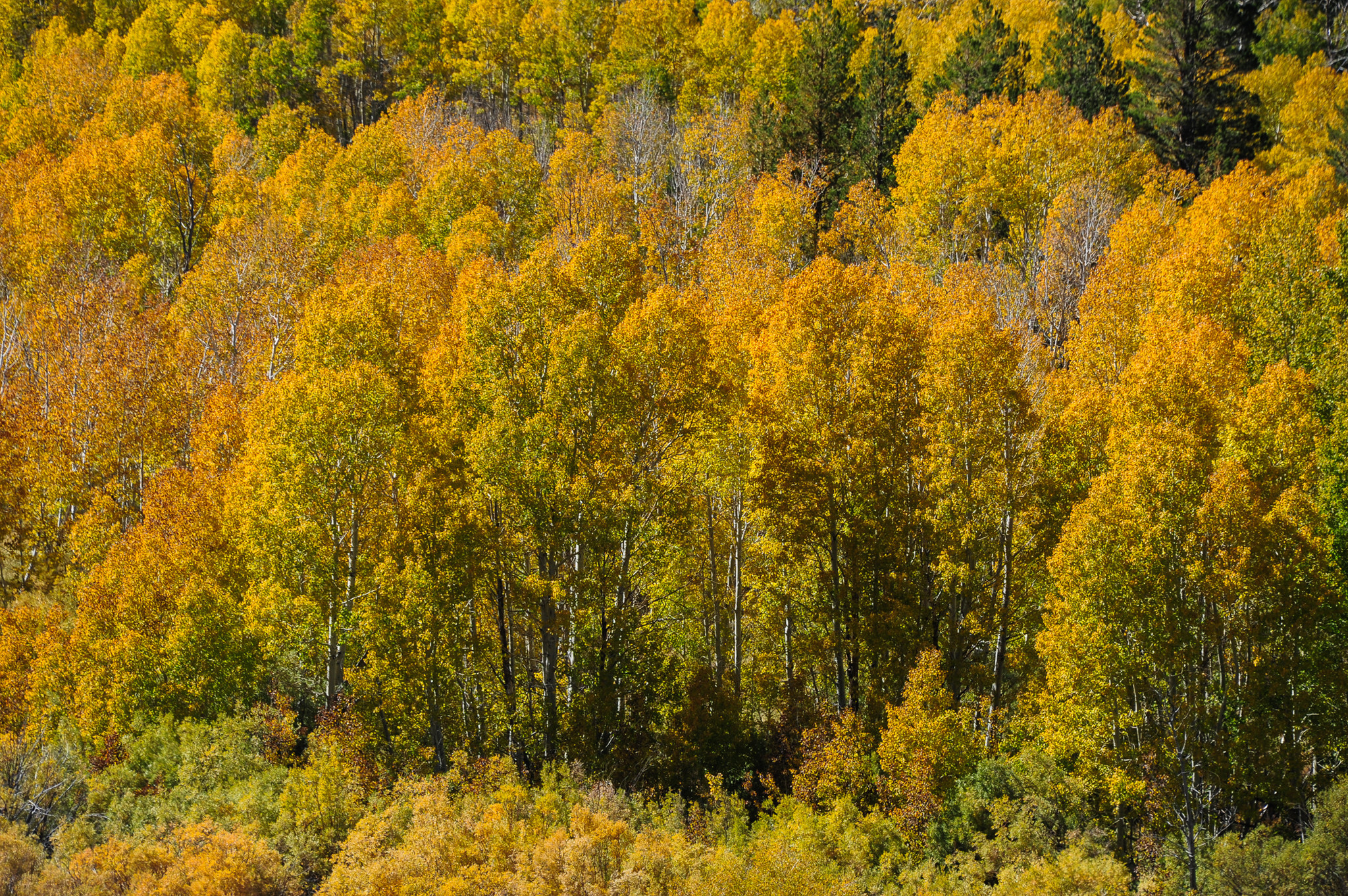 Aspens show their true gold at Conway Summit north of Mono Lake in the Eastern Sierra.