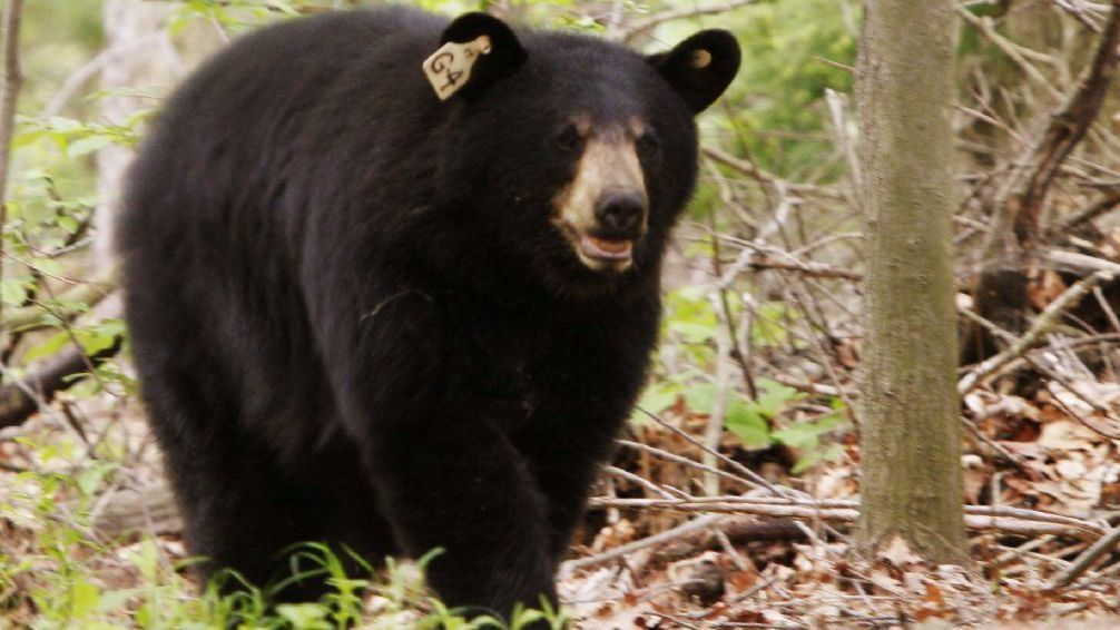 Renewed calls for legal hunt to control connecticuts rising bear renewed calls for legal hunt to control connecticuts rising bear population hartford courant publicscrutiny Choice Image