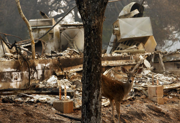 A deer peers out against the backdrop of a home that was destroyed in the Atlas fire in the Silverado Oaks neighborhood in Napa. (Genaro Molina / Los Angeles Times)